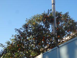 マントン オレンジの木